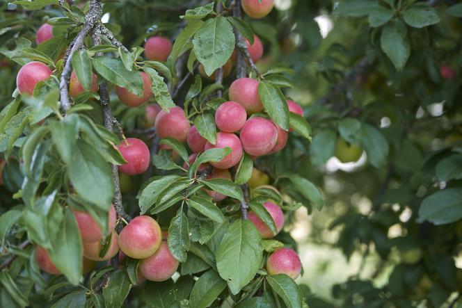 Piękne, efektowne w czasie kwitnienia drzewko posiadające białe lub różowe, pachnące kwiaty. Roślina miododajna, ma dużą wydajność pyłkową oraz nektarową. Wydaje kwaskowate owoce o wielkości 3 cm. Wykorzystuje się je do nalewek, win oraz różnych przetworów. Zastosowanie- żywopłoty, podkład do innych roślin owocowych, cele spożywcze, jako roślina ozdobna, miododajna