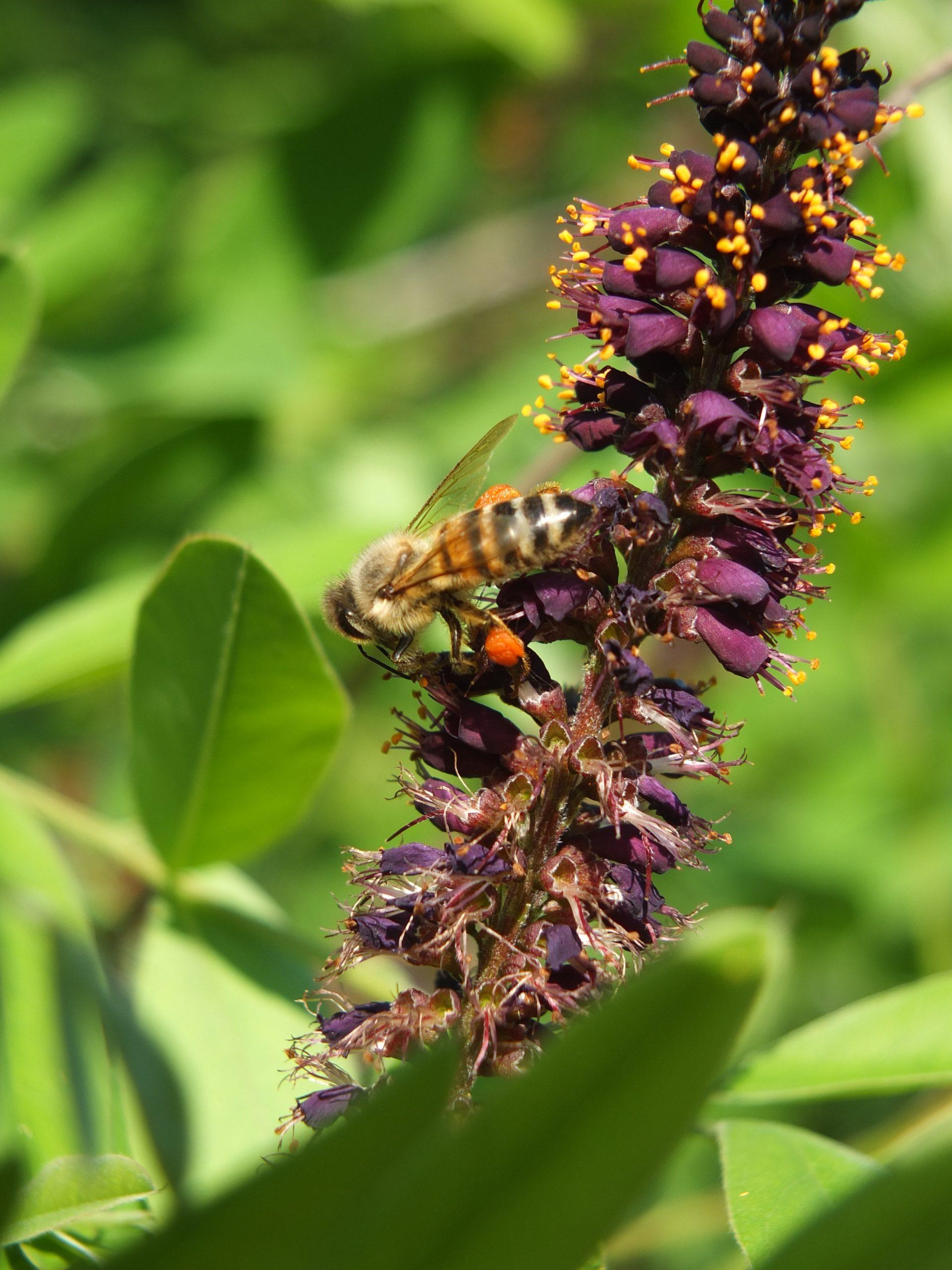 Pszczoły uwielbiają ten krzew, jest on bardzo miododajny, pyłek ma charakterystyczny ceglany kolor. Kwiaty w długich, gęstych gronach, purpurowo fioletowe o nieprzyjemnym zapachu. Posiada dobrze rozbudowany system korzeniowy. Zastosowanie- wzmacnianie brzegów rzek - ochrona przed erozją, żywopłoty.